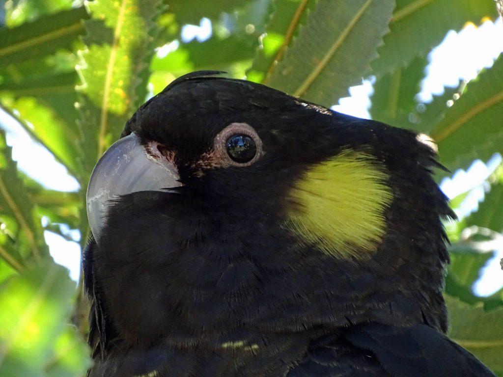 Black Cockatoo Juvenile
