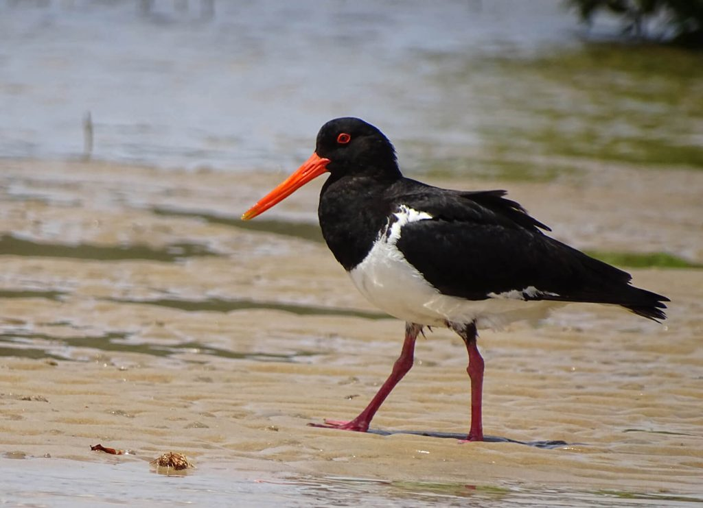 Pied Oyster Catcher 1