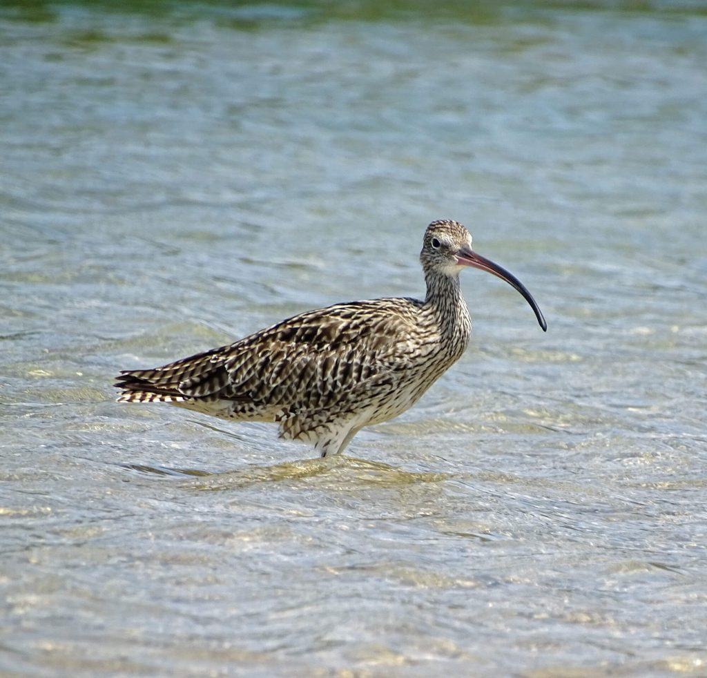 Eastern Curlew Critically Endangered